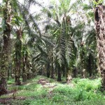 Oil palm plantation, PNG